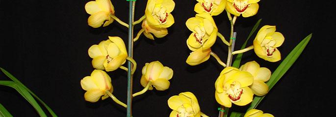 About Cymbidiums Cymbidium Orchid Club Of Wa